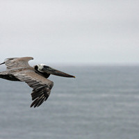 Pelican Photo Nature and Wildlife Photo Print Matted Free Shipping 8x10