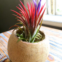 Guaranteed Blooming Ionantha Air Plant displayed in Natural Seed Pod - A Great Gift!