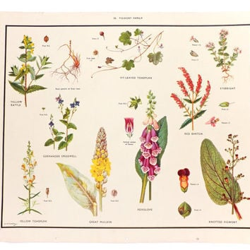 Botanical School Poster, Home Decor, Macmillans Nature Class Posters, Vintage Poster, Figwort Family, Wall Hanging