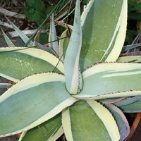 Agave guiengola 'Creme Brulee', Century Plant, Agave Creme Brulee, buy Agave Creme Brulee for sale, buy Century Plant for sale