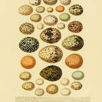 Antique Bird Eggs Print Nature Print Vintage Prints Home Decor Wall Art Natural History Victorian Art 1800s Old Prints 8x10 Art Print