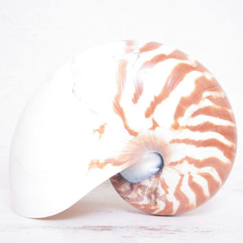 Giant Tiger Chambered Nautilus Shell, Coastal Decor