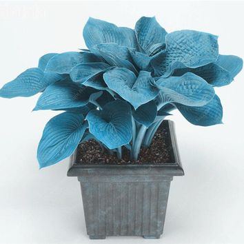 50 Pcs Blue Hosta Seeds Big Leaves Balcony Bonsai White Lace Lily Flower Perennial Planta Air Purifying Landscape Plants