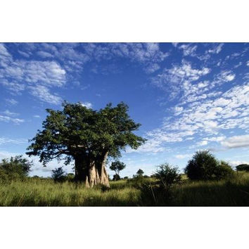 A Baobab tree on the savanna of Kruger National Park, South Africa