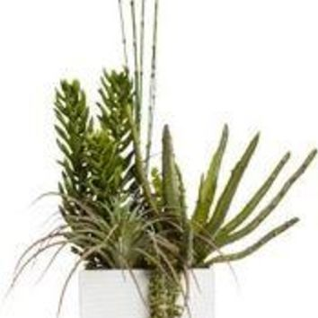 Succulent/ Donkey Tail In Tall White Pot