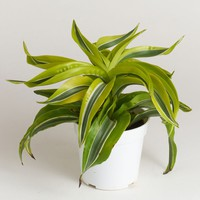 "LIVE 4"" Dracaena Indoor House Plant in Bright Green - Ships Alone"