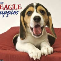 Beagle Puppies 2013 Wall Calendar (Just (Willow Creek))