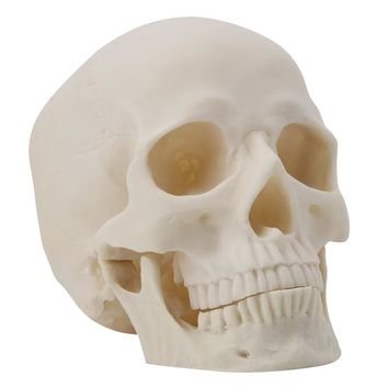 Human Skull Replica Resin Art Teaching Model Medical Realistic 1:1 Adult Size