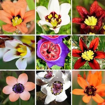 15 Color Available Wand Flower Seeds Balcony Pot Sparaxis Flowers Seeds for Patio Blue Pink White Orange Rose a Pack 100 Pcs