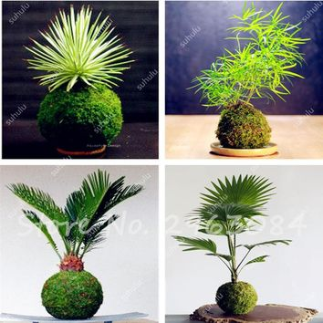 Rare 200 particles imported moss seeds, Perennial, bonsai plant for home garden plant decoration ornamental-plant