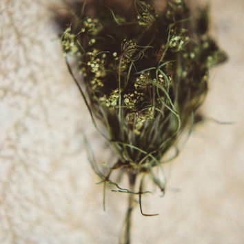 Queen Anne's Lace photograph- dried flower, botanical, green, golden, still life, floral, summer, ethereal, fine art photo, 8x10 print