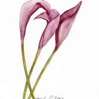 Painting of Calla Lilly, Original, Watercolor Painting, Not a Print
