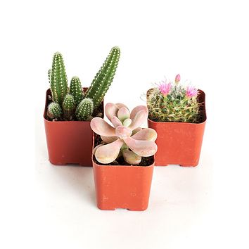 Pack of 3 - LIVE Desert Rose Succulent and Cacti Collection - Ships Alone