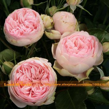 Heirloom 'Jin ling' Pink Peony Flower Seeds, 5 SEEDS/PACK, Big Double Blooms Tree Peony Garden Ornamental-Land Miracle