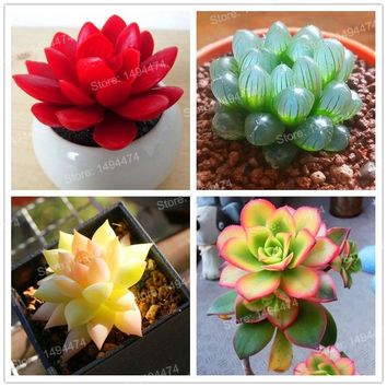200pcs/bag Rare Succulents garden Potted Flower flores colorful flower Pseudotruncatella Office Bonsai Plants Flower,easy to gro