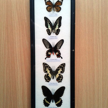 Framed 5 butterflies taxidermy wood frame for child collection BS565