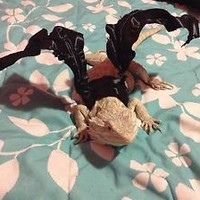 Bearded Dragon Wings Adult Size Dark Dragon Wings