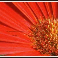 Red Daisy Close Up Photograph 8x10 by PurdyPhotography on Etsy