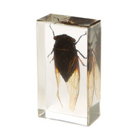 Cicada in Resin