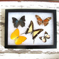 Vintage Framed pressed Butterflies. Specimen box with brown and yellow butterflies. Wall hanging picture