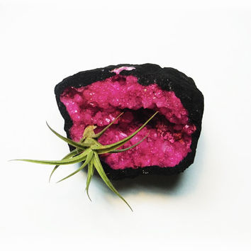 Live Air Plant Tillandsia Fuchsia Crystal Garden - Space Cave Geode - Terrarium - Science and Geology Gifts