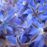 Borage Herb, Seeds, Garnish in Drinks, Soups & Saladsl, 10 Seeds