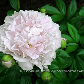 pale pink Peony art photo, pretty flower decor, Peony, floral, pink flower art, shabby chic, pink and green, beautiful pink Peony