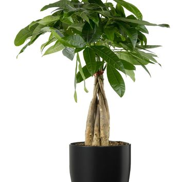 LIVE Money Tree in Black Matte Ceramic Container - Ships Alone