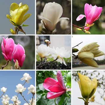 Hot Sale home Garden Plants Magnolia Seeds Bonsai pot flowers Seeds of Perennial Magnolia Seeds Multicolor Optional 120 PCS