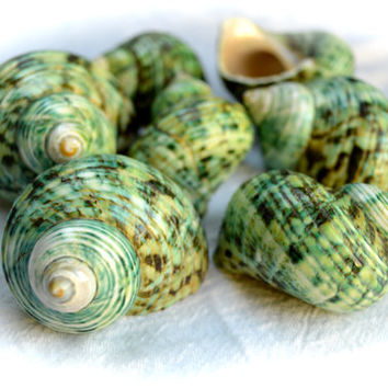 "Green Turbo Brunneus Shell ~ 2'-2.5"" (1 piece) ~ May be used as Hermit Crab shell ~ Snail Shell ~ Sea Shell ~ Medium Shell ~ Polished Shell"