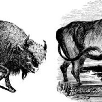 two buffalo png clip art Digital Image Download animals art graphics illustration