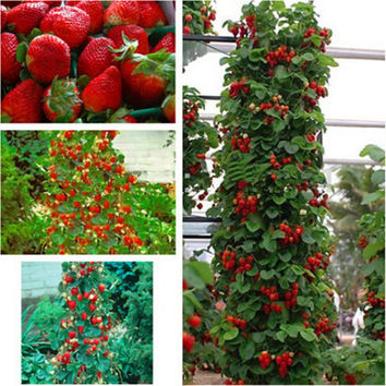 farmer Direct Selling Indoor Plants Strawberry Tree Seeds & Rare Color Strawberry Seed Fruit Seeds for Garden Bonsai  100 seeds