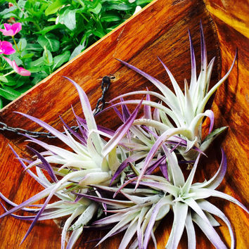 Plagiotropica Airplant ~ Purple Tipped Plant - Grows to 4-6 inches ~ No soil needed - Terrarium Plant ~ Great in Shell ~ Plant Only