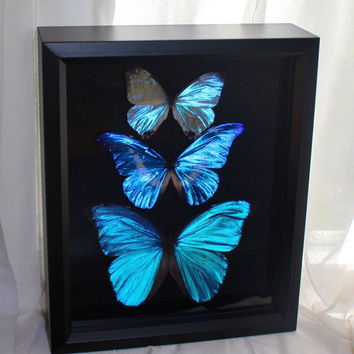 Blue Morpho Butterfly Display Real Framed Blue Morpho Butterflies in shadow box display 3 morpho butterfly specimens