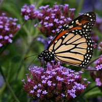 Purpletop Vervain, Verbena Bonariensis, Attracts Butterflies to Your Garden, 25 Seeds
