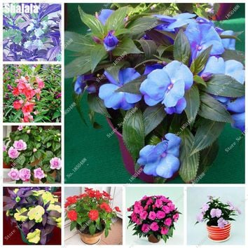 Heirloom Double Impatiens Balsamina Seeds Import Bonsai Herb Grass Seeds Four Seasons Flower Easy Growing 50 Pcs