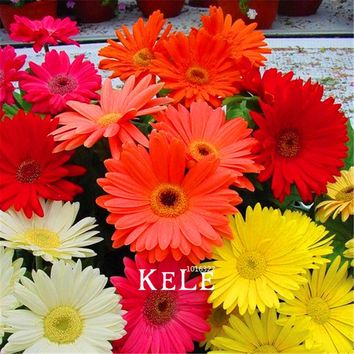 100 Pcs/Bag Promotion!Gerbera Daisy Hybrids Mix Flower Seeds Bonsai plants easy to grow Seeds for home & garden