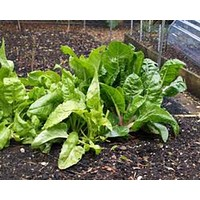 SWISS CHARD, PERPETUAL SPINACH, HEIRLOOM, ORGANIC 25+SEEDS, CRISP GREEN LEAVES