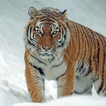 Tiger In Winter - Art Print
