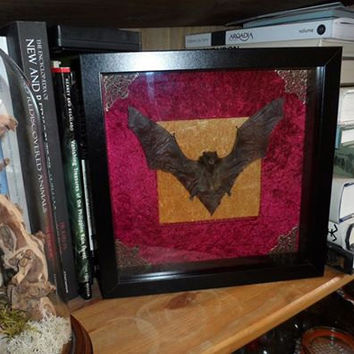 Mummified bat with open wings mounted in a deep shadow box frame