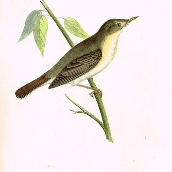 "Morris's Birds - ""OLIVACEOUS WARBLER"" - Hand Colored Wood Engraving - 1895"