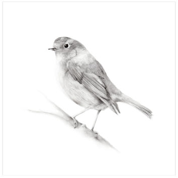 Bird (Robin) Pencil Drawing Print