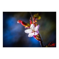 Sakura - Japanese cherry flower Photo Print