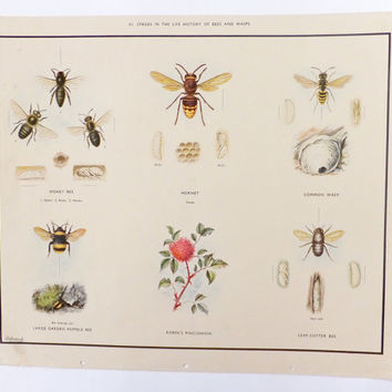 Macmillans School Poster,  Bees and Wasps,  Vintage School Chart, Home Decor, Macmillans Nature Class Posters, Vintage Poster, Wall Hanging