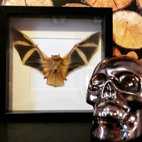 Taxidermy bat framed
