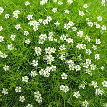 20 Irish Moss Seeds, Ground Cover Sagina Subulata Plant Outdoor Creeping Theme Grass Garden Creative Garnish DIY Decor Design Heirloom