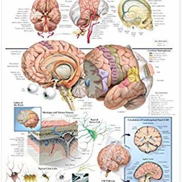 AKI Human Brain Anatomy Poster Anatomical Chart 20 x 26 inch Medical Educational Poster