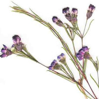 Pressed Purple Tea Tree Flowers on Stems - Pressed Flowers