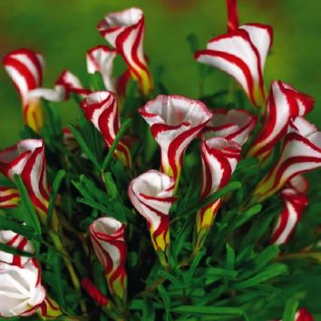 Free shipping Oxalis versicolor flowers seeds 150PCS World's Rare Flowers For Garden home planting O.versicolor Flowers Semillas