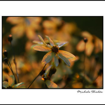 Daisy Photograph Floral,golden daisies,flowers in sunset,yellow daisies,summer sunset,creamy,dramatic wall art,ethereal,nature,saffron,gold,